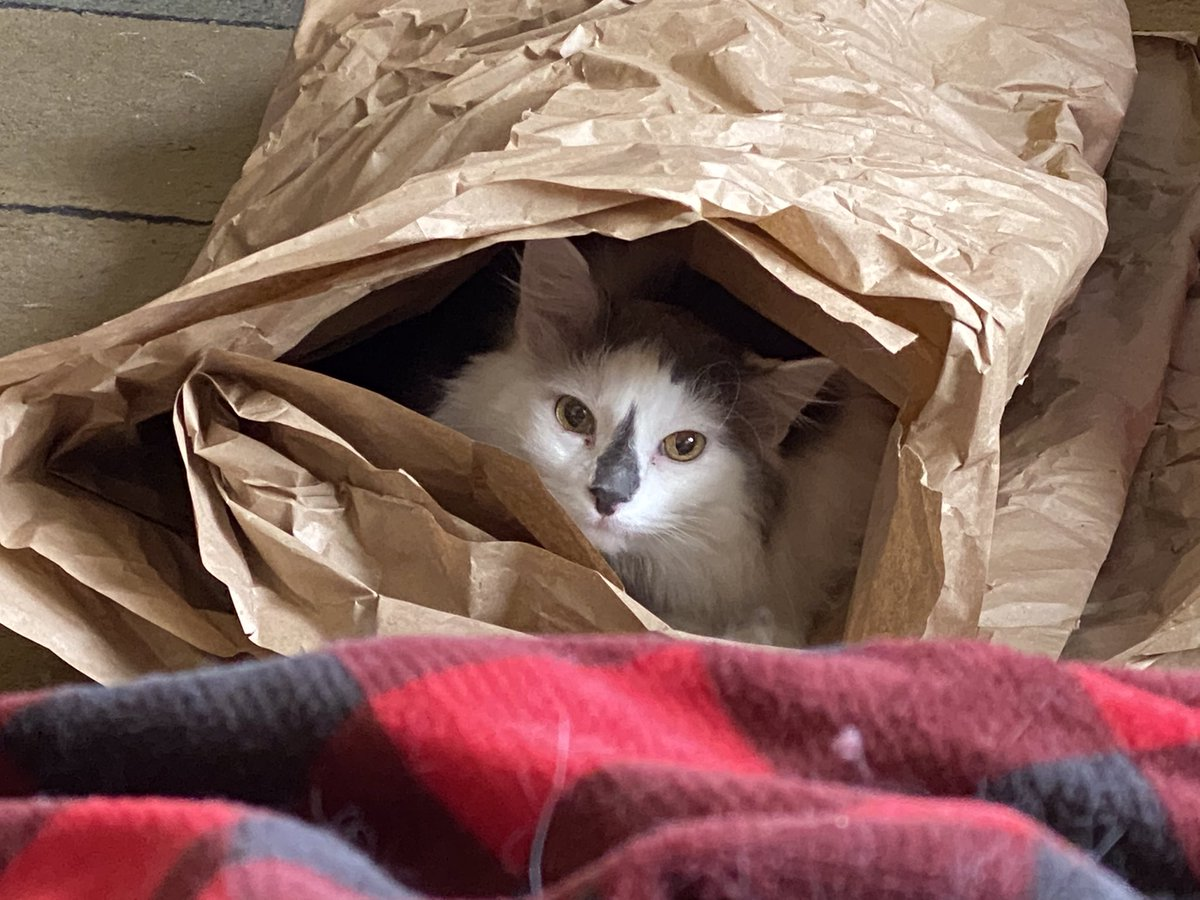 "Happy #Caturday everyone! Jack's took the paper from our Chewy delivery and made a tunnel for the cats. Of course, Jack immediately said, ""mine!"" 😹"