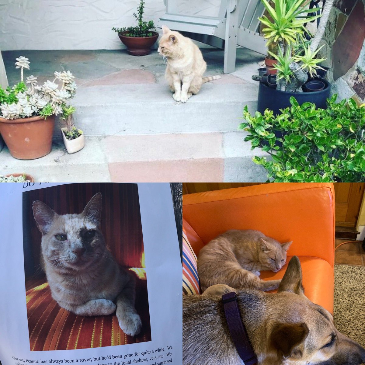 @thechrisbarron A happy #Caturday story: in May, a friendly tabby took up residence on our front porch. We fed him, gave him a bed—couldn't invite him bc Maz, our dog. Then on Thurs, we saw flyers for a lost tabby named Peanut who's a rover. Same day, he's happily back home—and inside for now 🙂