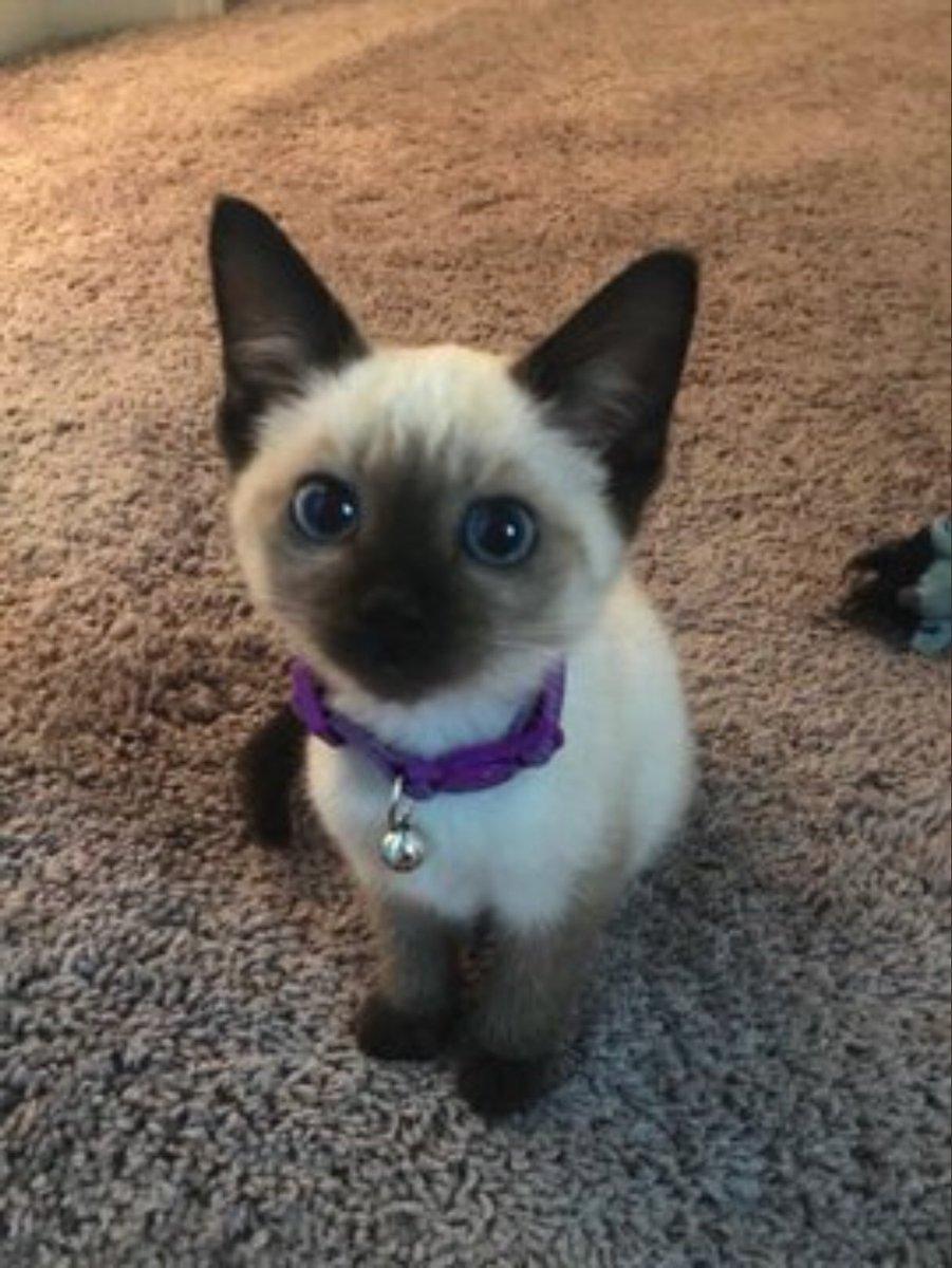 #patchestwtselfieday Here's my cat!