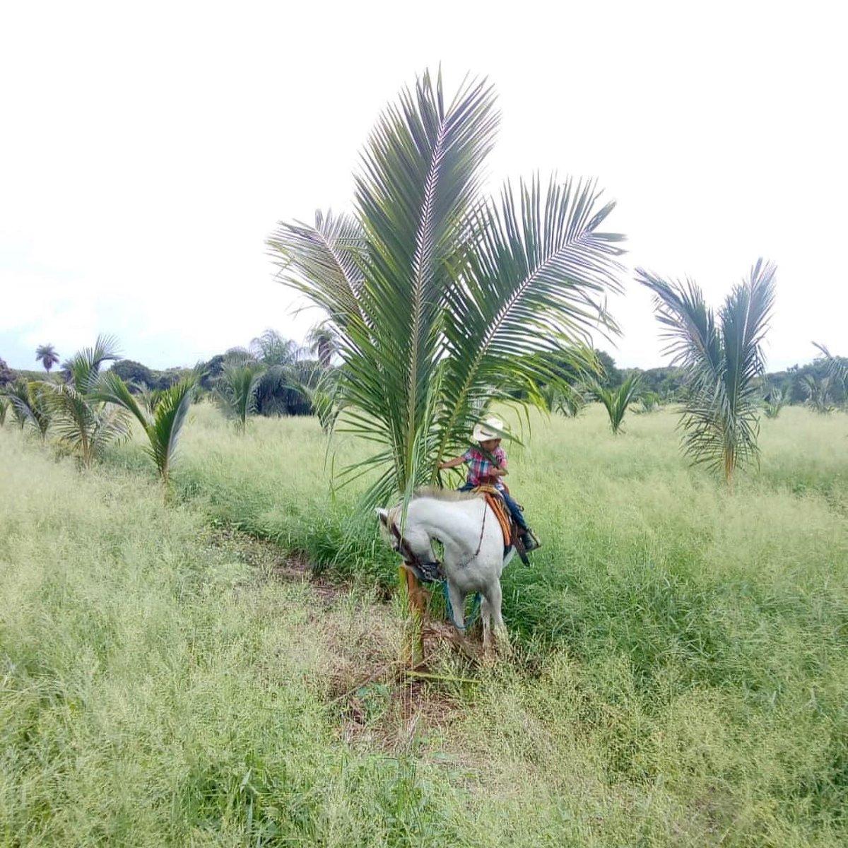 Compartimos el trabajo que se esta realizando en el Mpio. de Aldama, Tamaulipas, por ganaderos que estan iniciando en el cultivo de la #PalmadeCoco para obtener doble aprochamiento de sus predios.  #cultivo #coco #veracruzagropecuario #produceorgullo