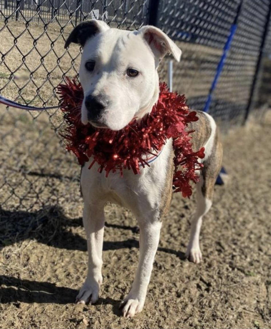 #TN #MEMPHIS 🆘🆘CODE RED - STILL THERE Paisley 18mo hw- Stressed in her kennel but once out of it Paisley is a sweet loving playful girl who is still waiting for the chance of a new happy life! Pls #ADOPT #PLEDGE #MASA2643 #RESCUE #FOSTER