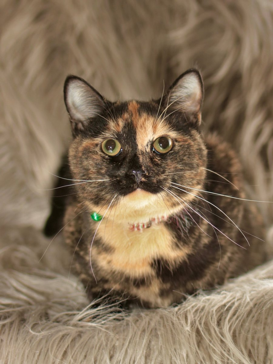 "Darling tortie kitty ""Custard"" in #Morgantown NC at Burke County Animals Services needs a home! This is a very small rural shelter who work hard to get the cats out! Adopt/pledge for rescue! *Contact info in website:  URGENT!"