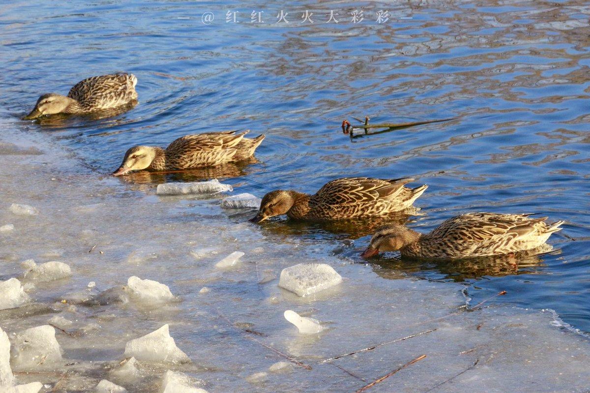一些鸭子🦆  #duck #ice #beijing #river #blue #winter #view #photographer #blog #nature #NaturePhotography #Animal