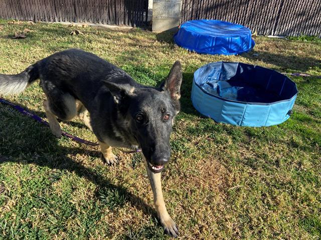 ¡Hola! I am a spayed female, 67.50 lbs, sable German Shepherd Dog. I am …