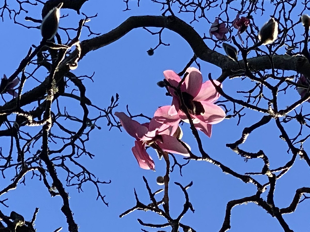 Check out the Magnolias at @SFBGS