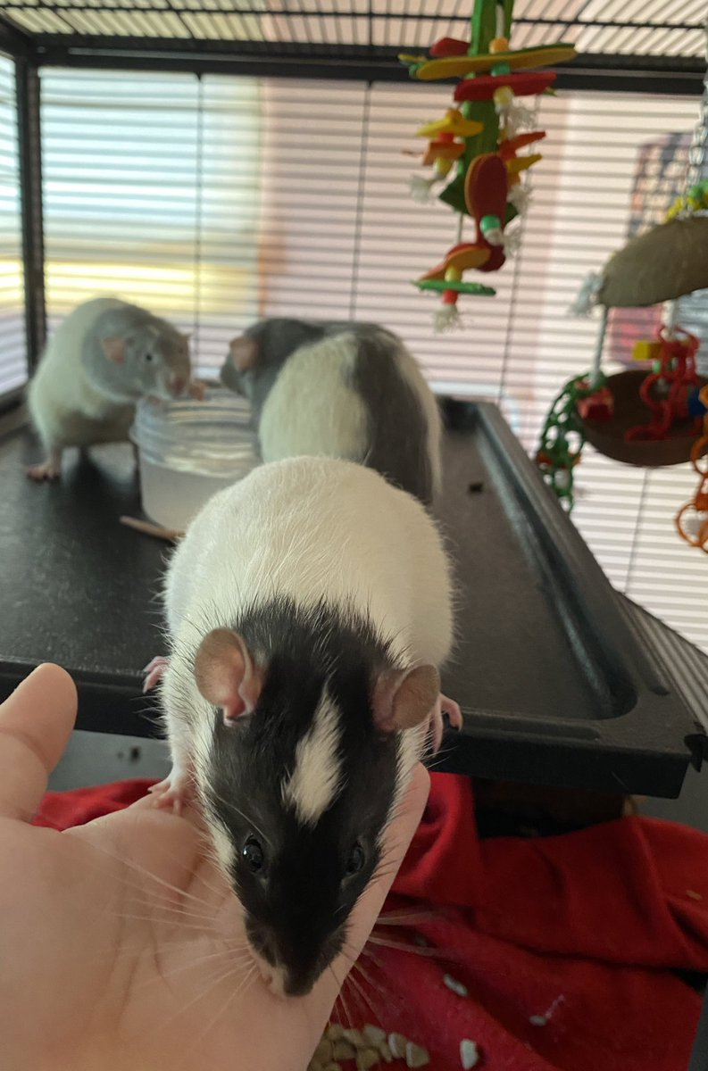 I have cats but they're assholes so here's my chunky rats :)))) #patchestwtselfieday (their cage usually has bedding up top but I took it out to let them play with water)