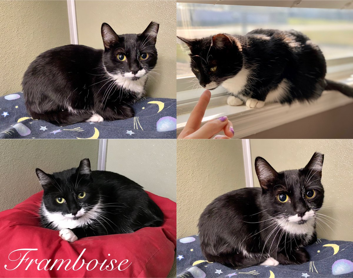 Sweet Framboise came to us very shy & scared of people. With lots of trust-building in a foster home, Framboise began to come out of her shell. This #Caturday we're delighted to announce that Framboise has been #adopted! Happy life, brave girl; you've come so far! #adoptdontshop