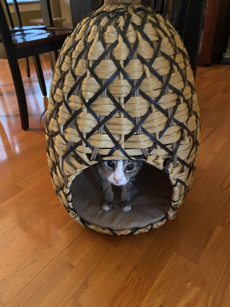 @thechrisbarron Happy #Caturday Chris from Travis, just hanging out in his pineapple 🍍