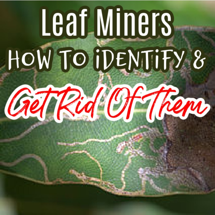 Leaf Miners: How To Identify & Get Rid Of Them   #gardeningtips #urbangarden #happygardening #homegrown #wholefoods #growsomethinggreen #organicgardening #gardeningproblems #homegardening #urbangardenersrepublic