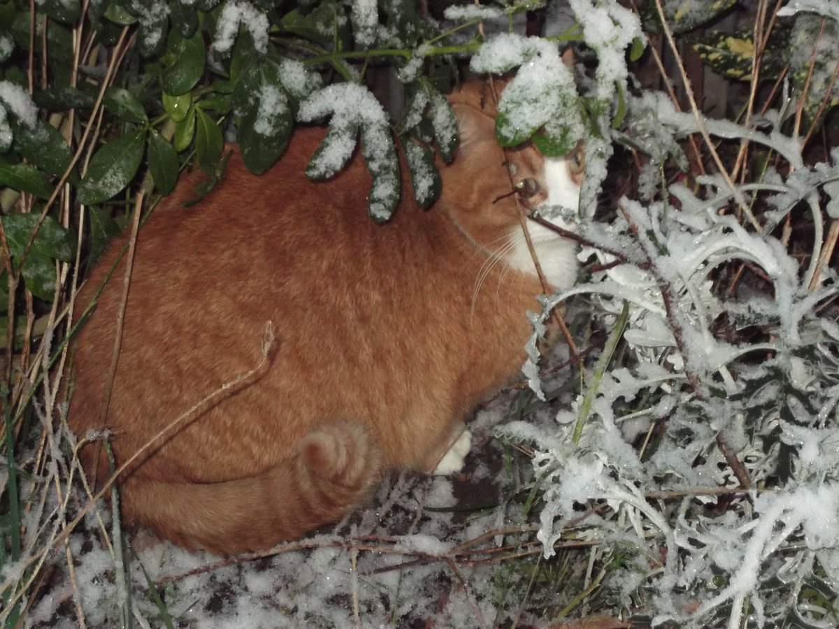 Happy #Caturday, friends! #CatsOfTwitter.  Had a slow morning after hard work being an #unrepentantmousemurderer last night (thanks for your messages of support ❤️). Then I played hide and seek with Oddie in the snow. He thought he was being very cleverly catouflaged here...