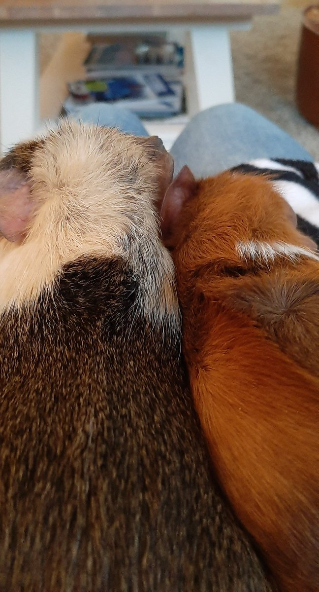 it's #patchestwtselfieday :D  i sadly don't have a cat so have my guinea pigs if that counts :)