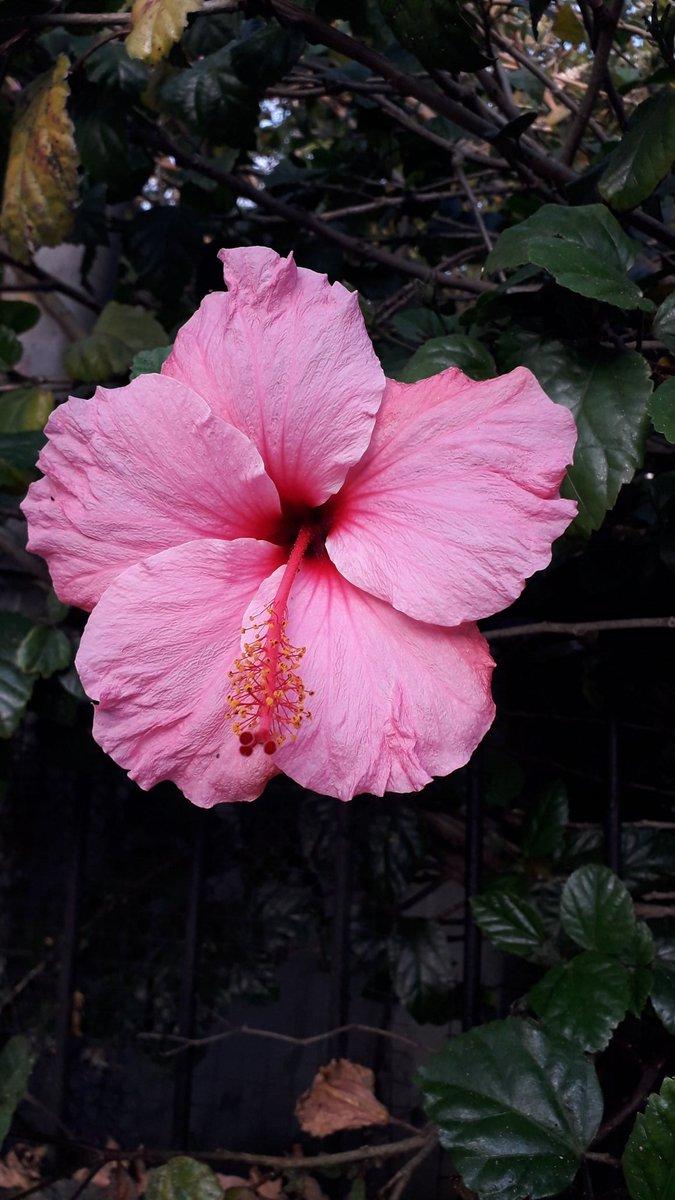 #Pink hibiscus