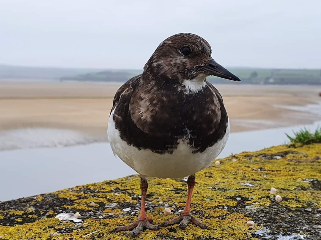 Turnstone from last year  at Padstow Cornwall 〓〓  #wildlife #nature  #padstow #Cornwall #Kernow #wildlifephotography #birdwatching #TwitterNatureCommunity  #turnstone