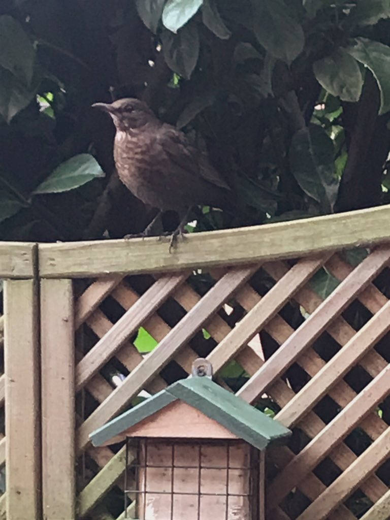 "@DailyPicTheme daily theme ""wall/fence"" this little lady loves playing on my garden fence!! #DailyPictureTheme #blackbird #sundayvibes #SundayThoughts #RSPB #wildlife #wildlifephotography #garden #StaySafe @DailyPicTheme @Natures_Voice @wildlifenet"