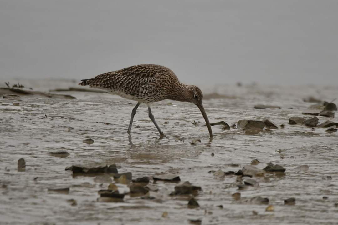Curlew from last year  at Padstow Cornwall 〓〓  #wildlife #nature  #padstow #Cornwall #Kernow #wildlifephotography #birdwatching #TwitterNatureCommunity  #curlew