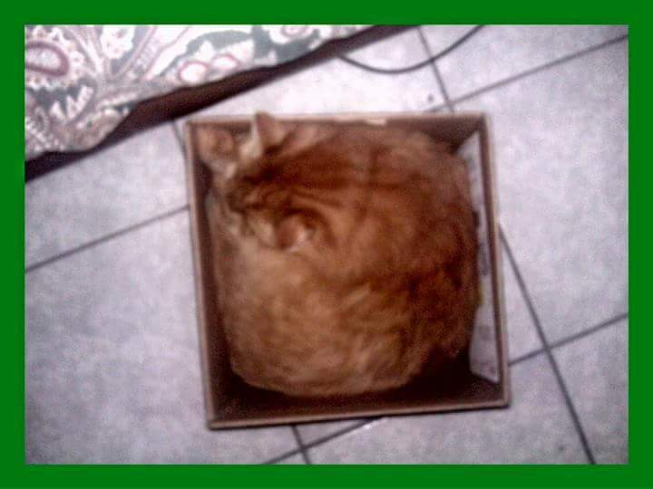 Found this picture of my FatCat. 20 lbs of cat in a 5lb box.  I miss my baby. #Caturday #memories