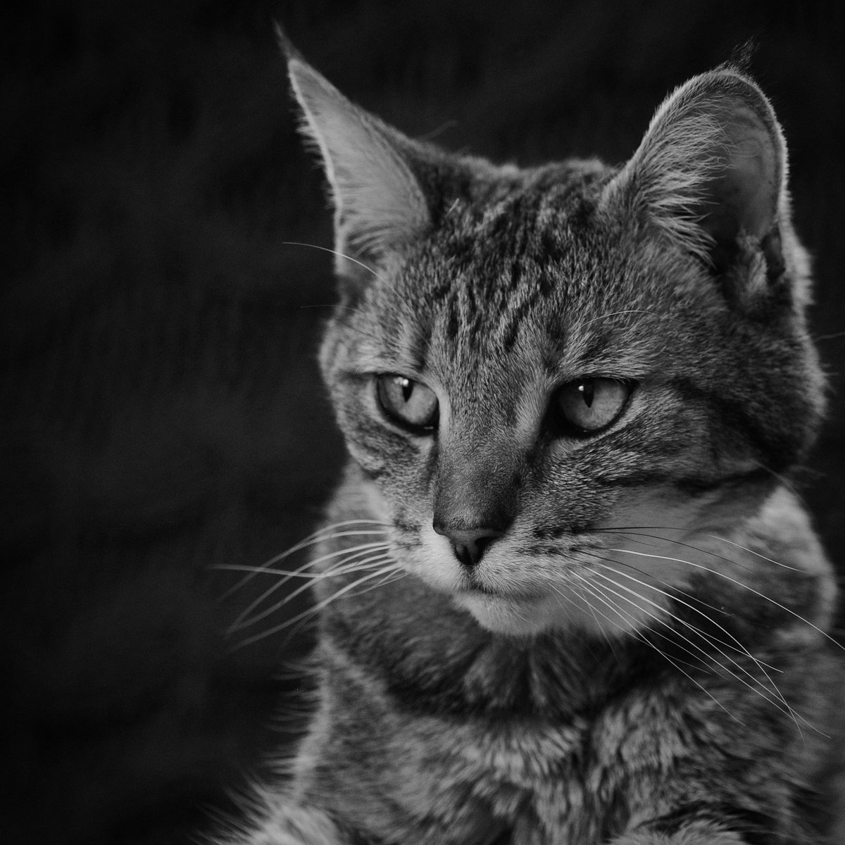 Trying out some black and white photography today with my favourite model,  Lily.  #photography #bnwphotography #amateurphotography #cats #petphotography #petportrait