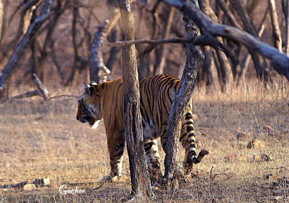 @navikakumar Date: 23Jan 2021. Morning safari, Zone 3 #Ranthambore