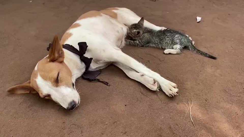 Replying to @Reuters: A tiny kitten was spotted feeding on milk from a nursing dog in a remote Nigerian town 🐕 🐱