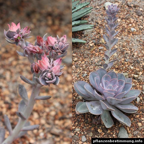 """Succulent/Cacti of the day is: Echeveria """"Perle von Nürnberg"""" #PicOfTheDay #PlantTwitter #LearnSomethingNewEveryday"""