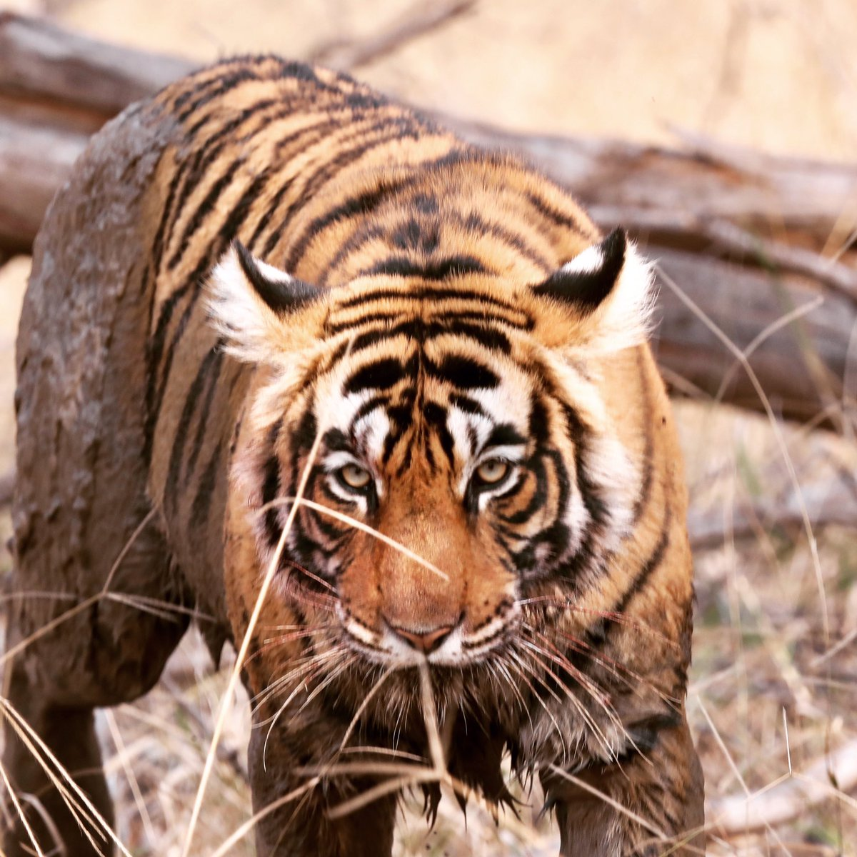 Back to #Ranthambore ... this place never disappoints....