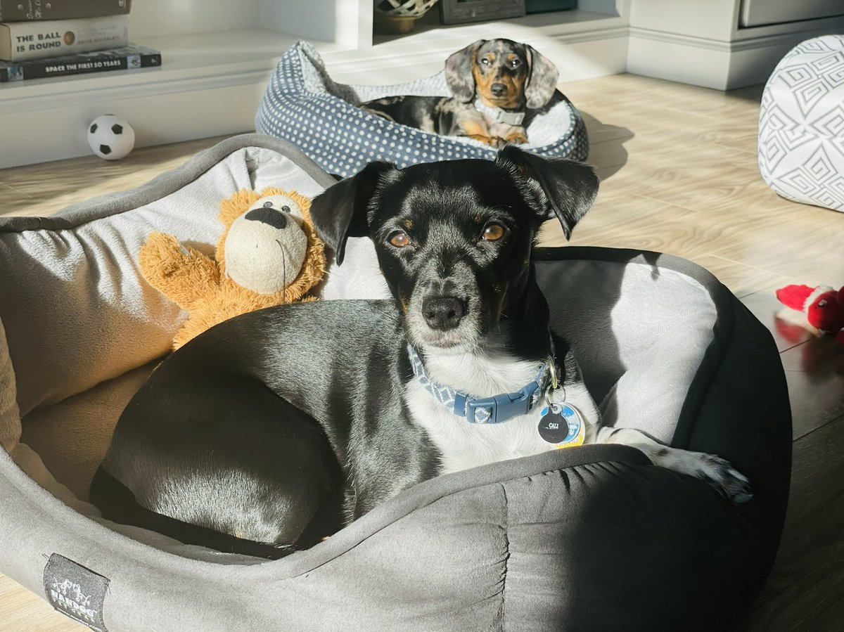 Just loungin' in the sun with my new brother ☀️  What are your Sunday plans, friends?? #dogs #dogsoftwitter #dogslife #puppy #Puppies #chispaniel #dachshund #doxie #sunday #sundayvibes #SundayMorning #Sunday