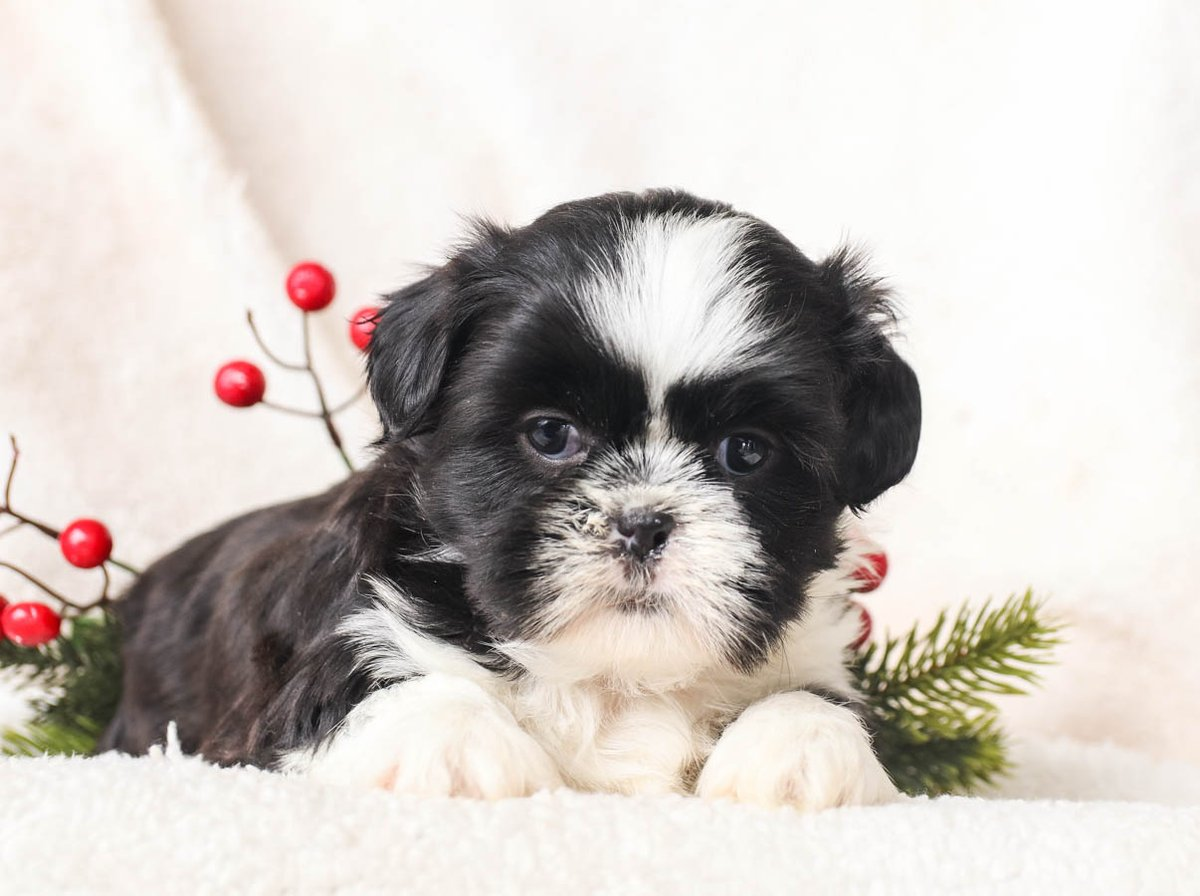 🎀💙🐾Say hi to these #supercool and very #sweet, #ShihTzu puppies. These #gorgeouspuppies will wiggle their way into your heart in no time. You will have a #newbestfriend with one of these cuties. • •  • #PuppiesOfTwitter #LancasterPuppies