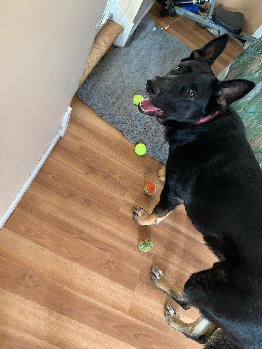 @therriaultphd My dire wolf loves some light tennis ball herding https://t.co/6sBYnLiGdu