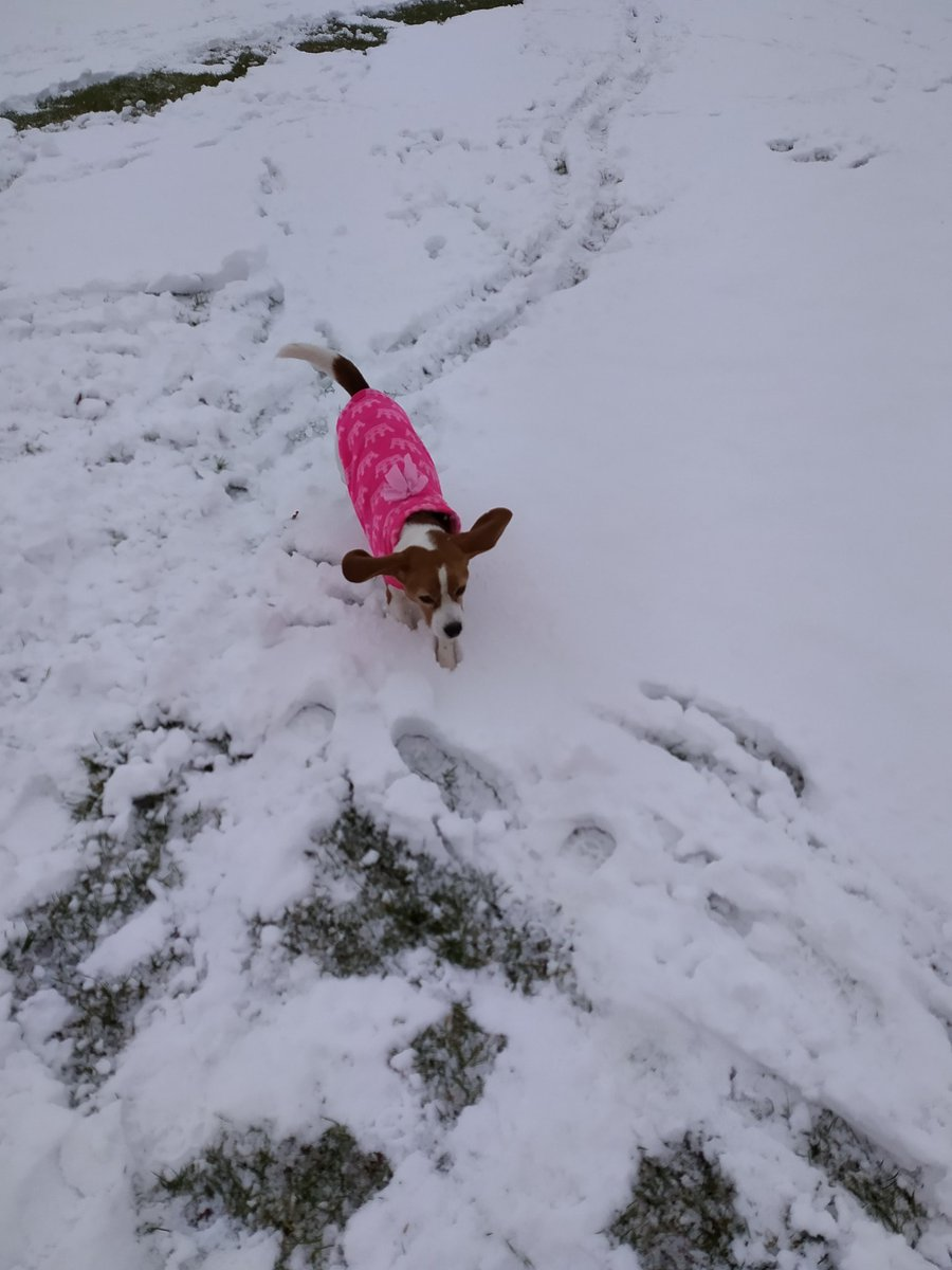 Phoebe hasn't seen snow for quite a while she's happy to be out frolicking! #beagle #Snowing #snow #LostThenFound #twitchtv #behindthescenes