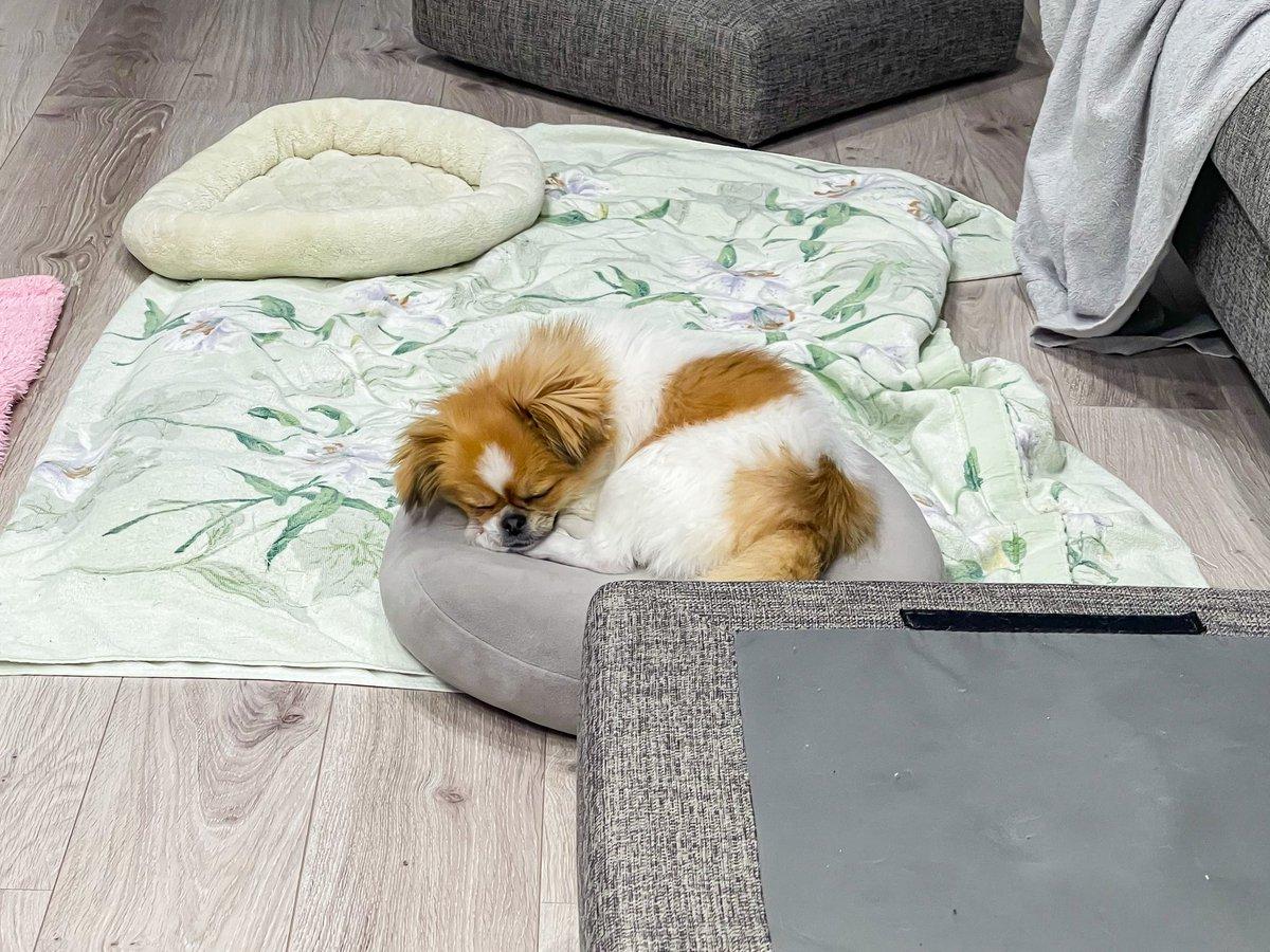 100均クッション割とお気に入り🐶✨ #ポメペキ #ポメラニアン #ペキニーズ #犬好きさんと繋がりたい #犬のいる暮らし #犬 #ペット #ミックス犬 #仔犬 #youtube #ポメペキもちこ