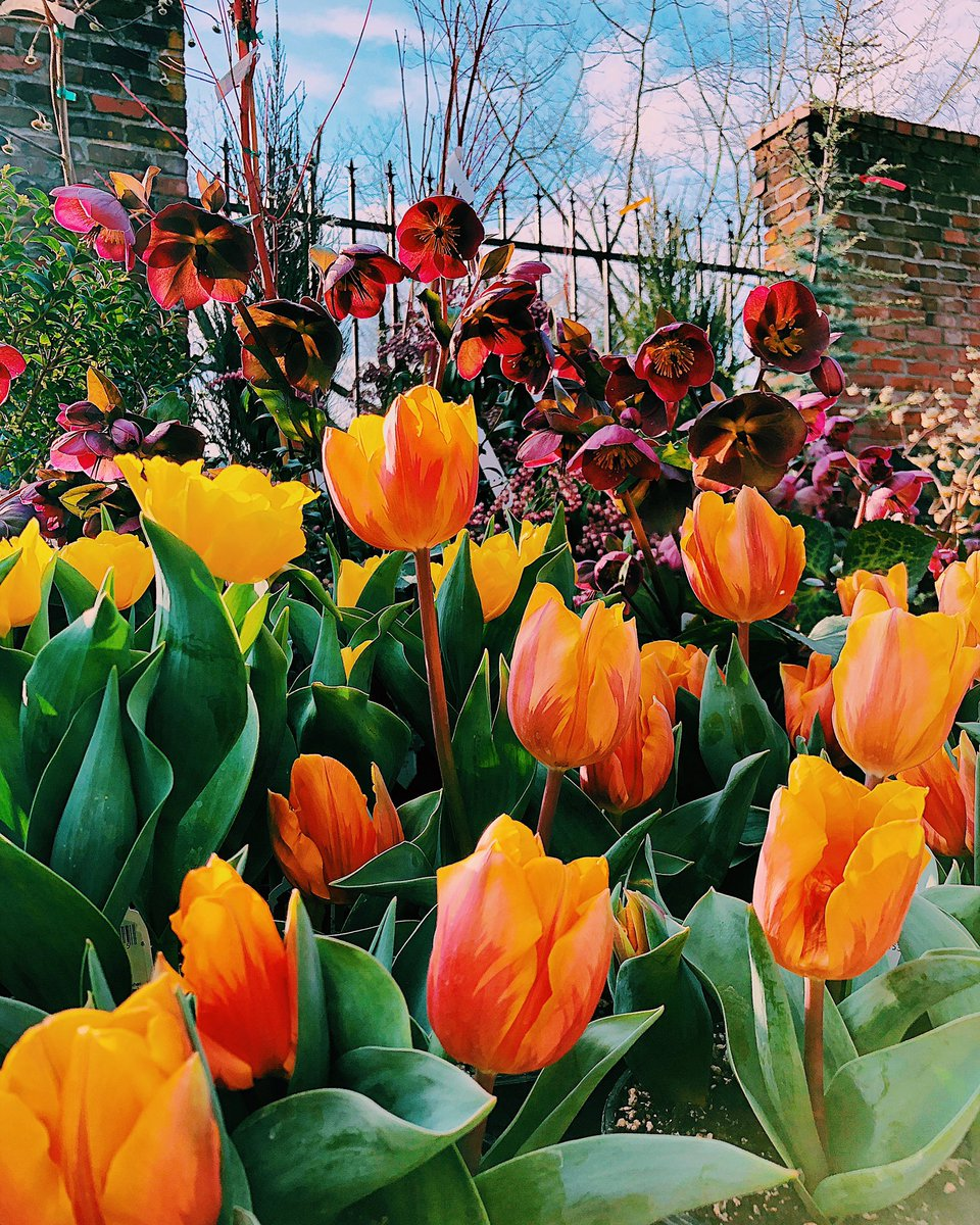 #SundayVibes #FlowersForYourFeed  The Tulipa 🌷 is a symbol for not only love in various stages but also has been historically visualized as a representation of heaven on earth or the evolution and rebirth of the life cycle. #flowerfriends #tulips #flowershop #growth #God #love