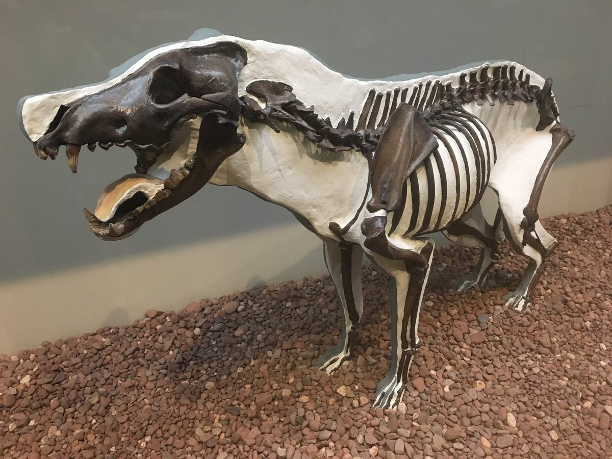 More playful paleo reconstructions, please!  I adore this classic dire wolf from the old @yalepeabody halls (especially because we now know dire wolves weren't wolves at all!). https://t.co/z2ic7jk7Ff