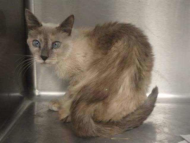 ‼🆘️‼🆘️‼🆘️‼🆘️‼🆘️‼🆘️ SENIOR ALERT ~ LA, CALIFORNIA  Can WE please Get Some Relief For ❤Clarisse❤?! Beautiful Vintage 14 year old Siamese Girl wanting a retirement home to live out her golden years!  PLEASE RETWEET to save her life!  ‼🆘️‼🆘️‼