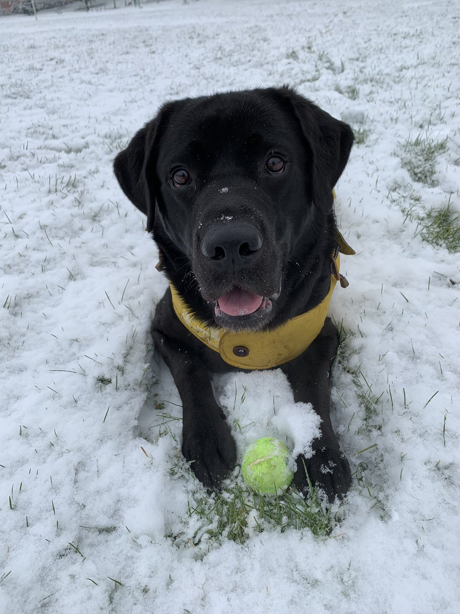 Snow ❄️ Glorious snow! ❄️ Who doesn't love diving and digging in it 😋 #Dog #Snowing #dogsoftwitter #snowday #snowdog #sundayvibes #SundayFunday