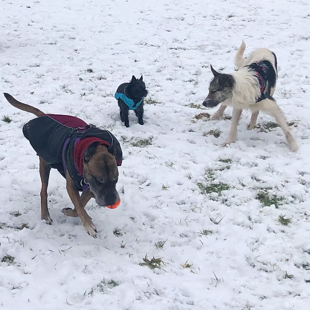 Snow fun with fur friends 🐶 #staffie #chorkie #dog
