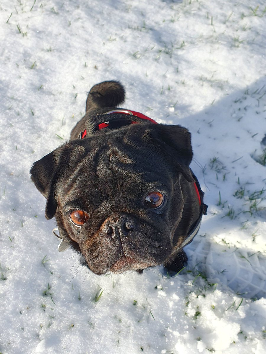 Such a good day today Pals 💖 #snowday #dogs #doglovers #dogsoftwitter #puglife #pugs #pugsoftwitter #sundayvibes