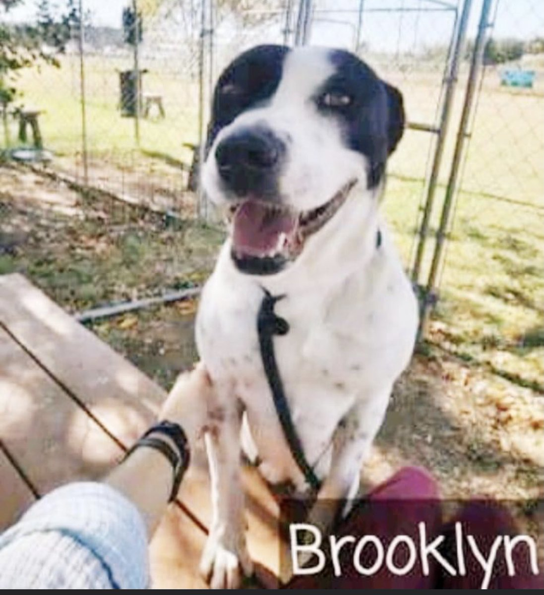 #TX #ABILENE 🆘OVER 4 MONTHS IN HER KENNEL Brooklyn 1yo sweet girl who loves human company but is Not so fond of dogs. She has been passed by & ignored & really needs a rescue to help her! Pls #PLEDGE #RESCUE #FOSTER LETS GET HER OUT OF HERE! #A45417210