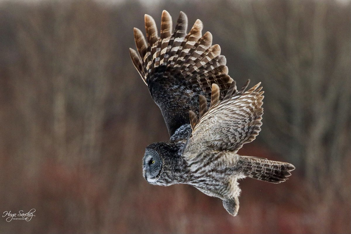 Such a magnificent owl the Great Grey Owl is ❤️  #yeg #Owl #Greatlgreyowl #birdifprey #photography #PhotoOfTheDay #wildlife #birds #nature #Canada #Alberta #NaturePhotography #hunting  #winter #mystical #country #birdphotography #outdoor #beautiful