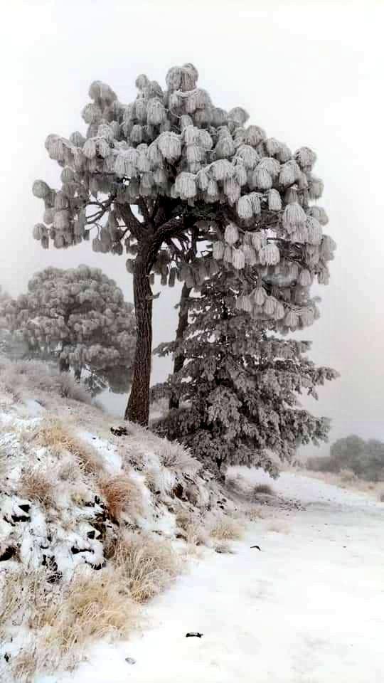 Imágenes de las nevadas de hoy en Sonora. Nuestro bello estado que lo tiene todo. Fotografías de #SoyCobre #ElMineralMX y #AyuntamientodeBacerac