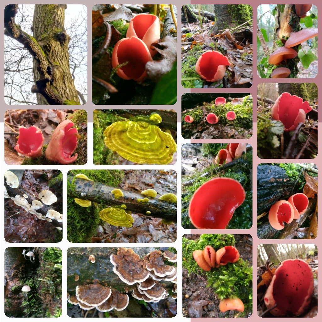 #MushroomMonday The delights of #masonswood @WoodlandTrust from Saturday, King Arthurs cakes up high on a tree, scarlet elf cups, wood ear, turkey tails, an illuminous green one I need to ID and a teeny white one. 😍 #mushrooms #fungi