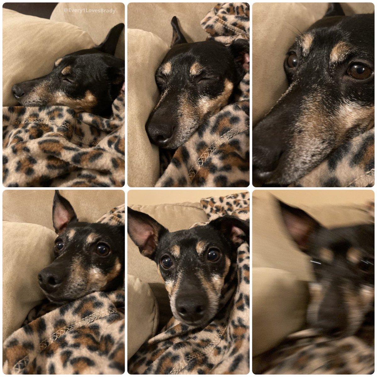 The snuggle is real for Mr. T 🐾 💤  . . . . #MrT #Every1LovesBrady #dogs #dogsofinstagram #rescuedog #adoptdontshop #twinpins #happydog #ilovedogs #dogears #sleepydog #tireddog #dogtired #MrTPup #Every1LuvsBrady