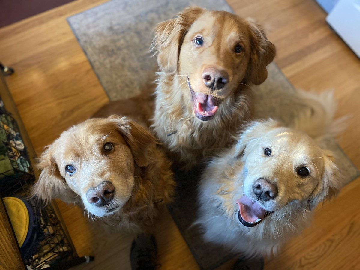 """""""We're telling ya, cousin Zeke, all ya gotta do is sit here and smile at our dad and he'll give you a treat!  Guaranteed!"""" —Ernie and Pete #dogs #DogsofTwittter #grc #weekendsmiles #dogcelebration #goldenretrievers @peggyfrezon"""