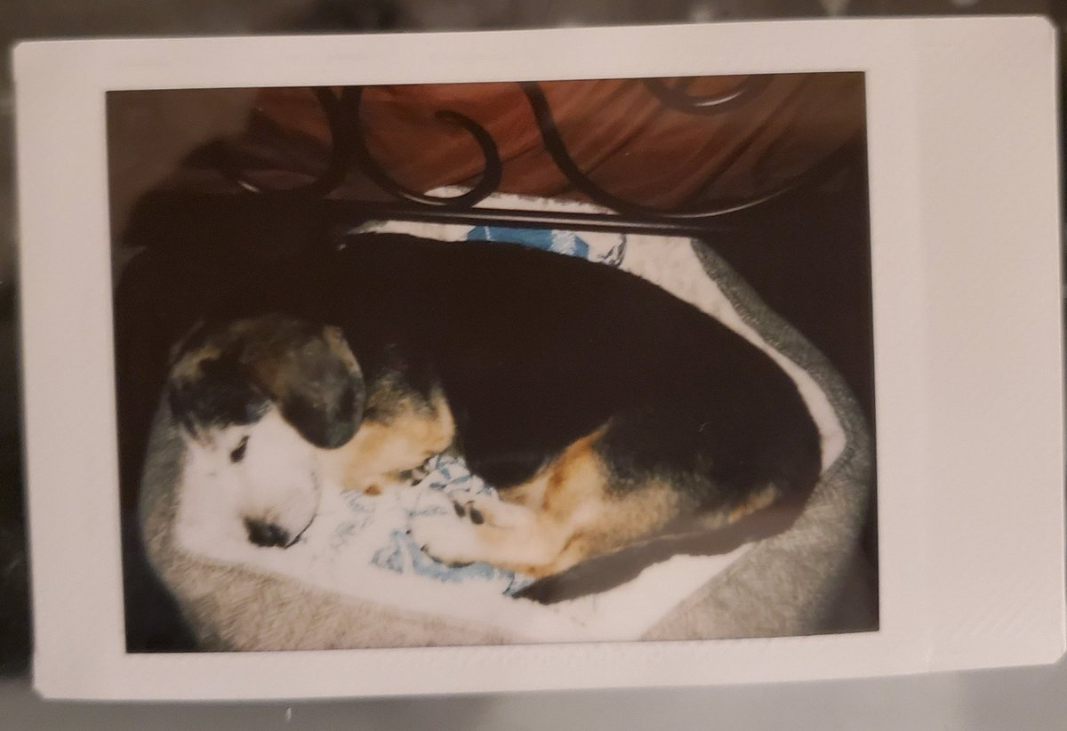 Finally bit the bullet this weekend and got myself an instant camera. I always wanted one and got a fujifilm instax. I love it here is the first picture I took!  #instantcamera #fujifilm #instagramartist #instaart #doggo #dogsofinstagram #doggosbeingdoggos #dogs #ArtistOnTwitter