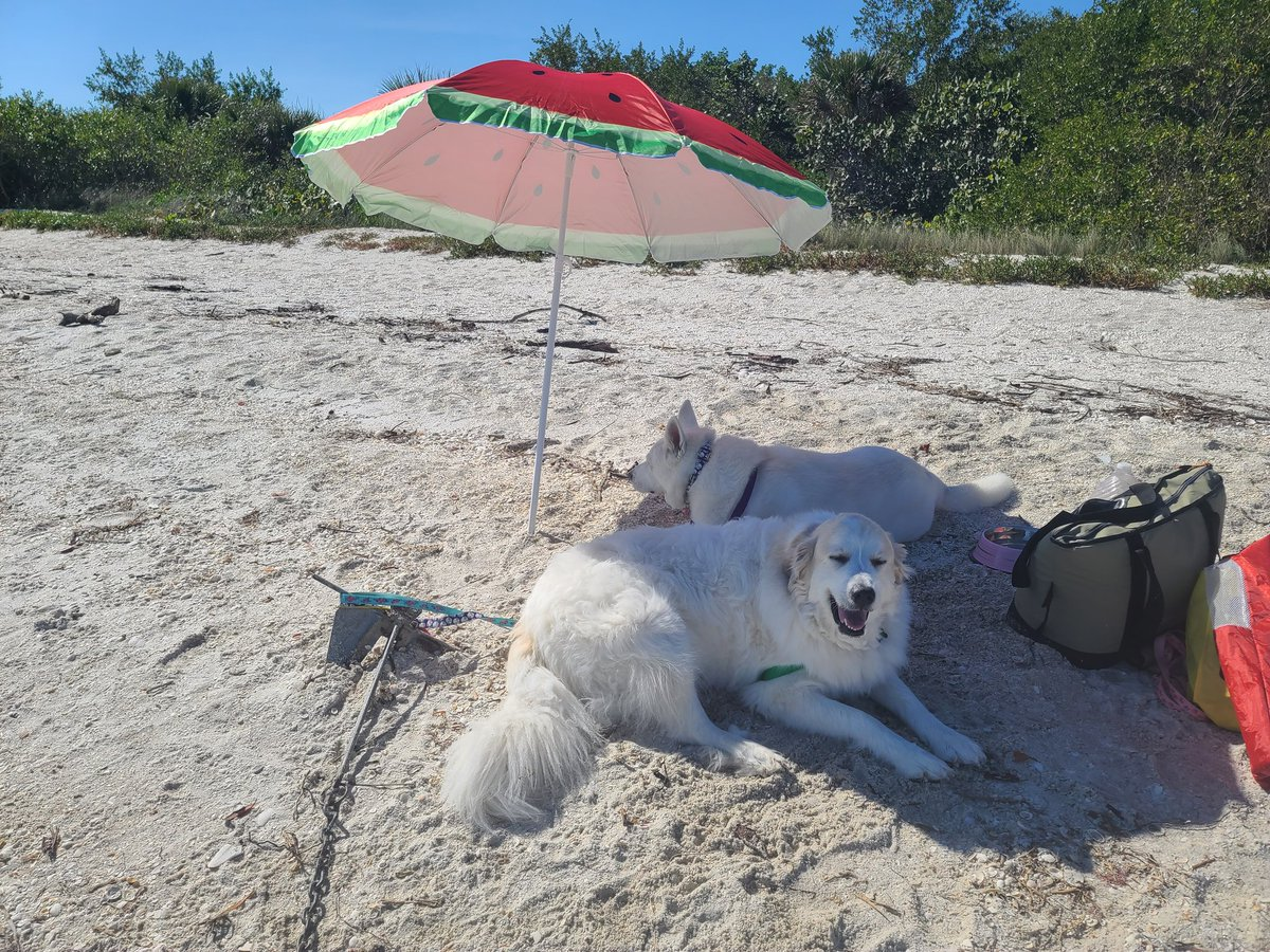Have you seen more spoiled dogs? #rescuedog #dogsoftwitter #greatpyrenees
