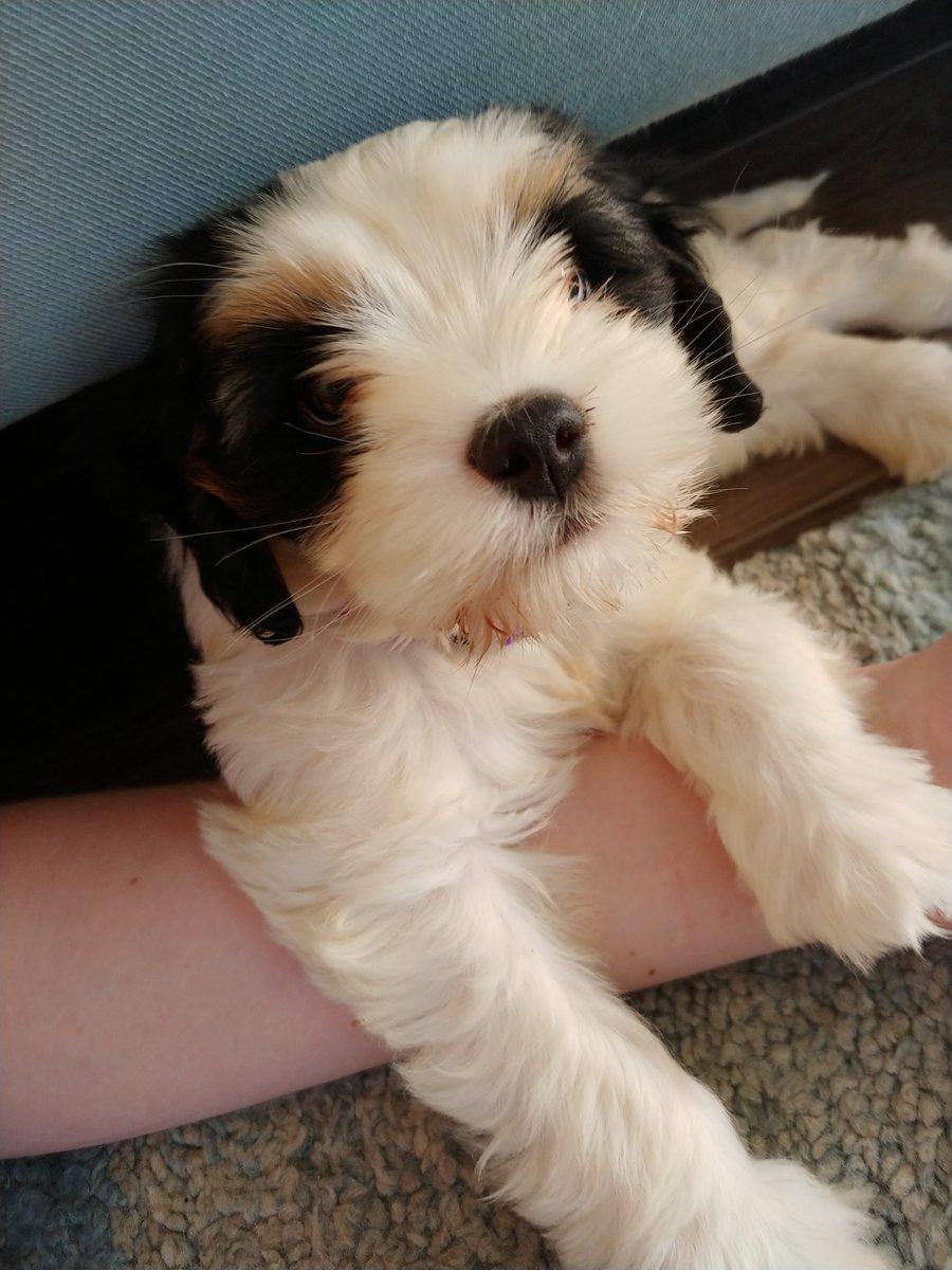 Chus arm is mine now. Fank u.  #dogsoftwitter #dogs #cutenessoverload #cutepuppies #boopmynose