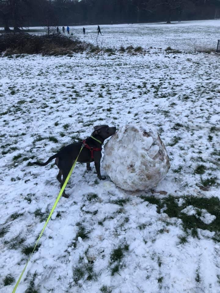 Trefor's quite pleased with his first attempt at a snowball #dog #dogs #dogsoftwitter #dogsofinsta