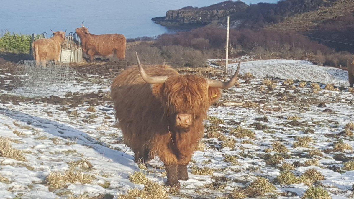 Cows on snow with a dab of sea #Skye #Scotland https://t.co/0xapcds8HL