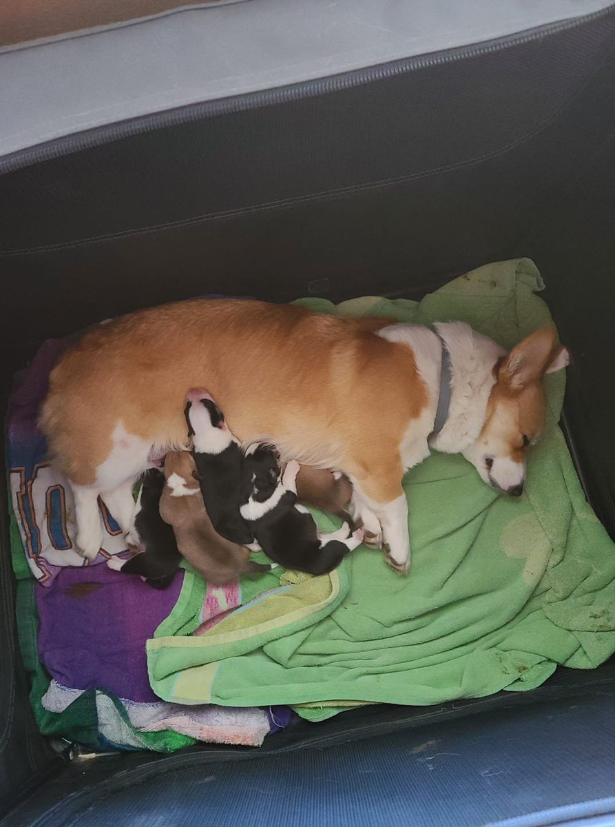Proud to announce our new arrivals. Born 1/21/21. Mommy and babies are doing great. She has been a good momma for her first litter ❤  #CorgiCrew #Corgi #Animal #technoatebacon #TALESFROMTHESMP #BOBBY_UMad_OutNow
