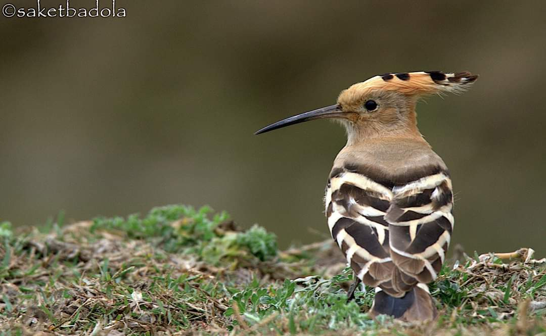 """'Onomatopoeia' is a kind of word that phonetically mimics, imitates, resembles or suggests the natural sound of the thing it describes. It comes from a compound Greek word for """"the sound/name I make."""" Example? 'Hoopoe' is named based on the sound it makes. @IndiAves"""