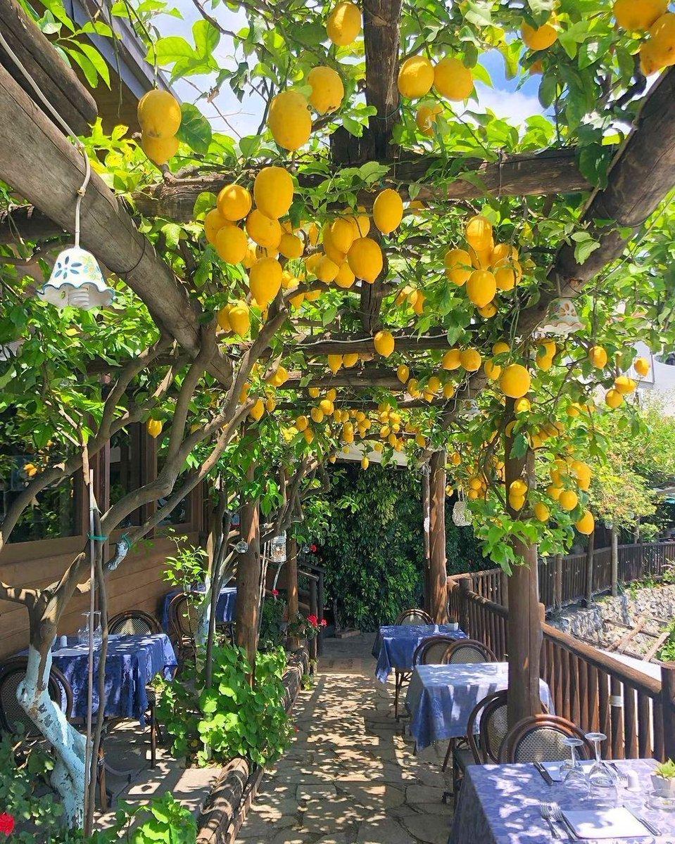 These are the lemons that make #limoncello! 🍋🍋🍋🇮🇹🇮🇹🇮🇹  This snapshot is pure #Mediterranean!   📍 Praiano, Amalfi Coast☀️, #Italy  📸 battlestarcelestica [IG]  #travel #wanderlust #holidays #lemons